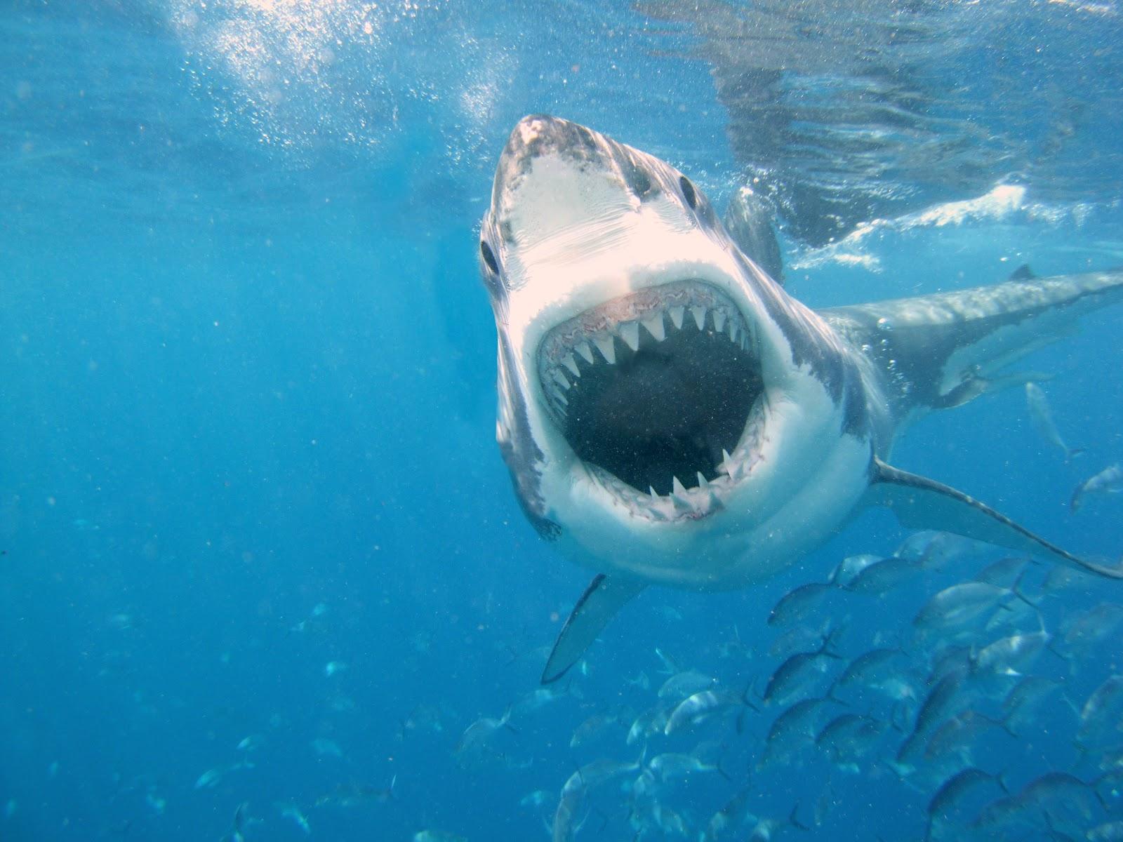 Shark   The Biggest Animals Kingdom   1600 x 1200 jpeg 237kB
