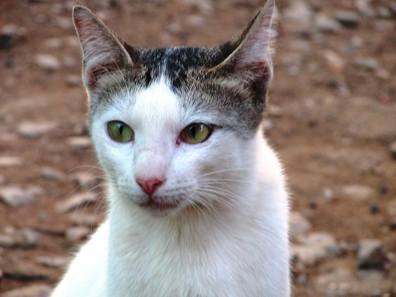 Kucing putih