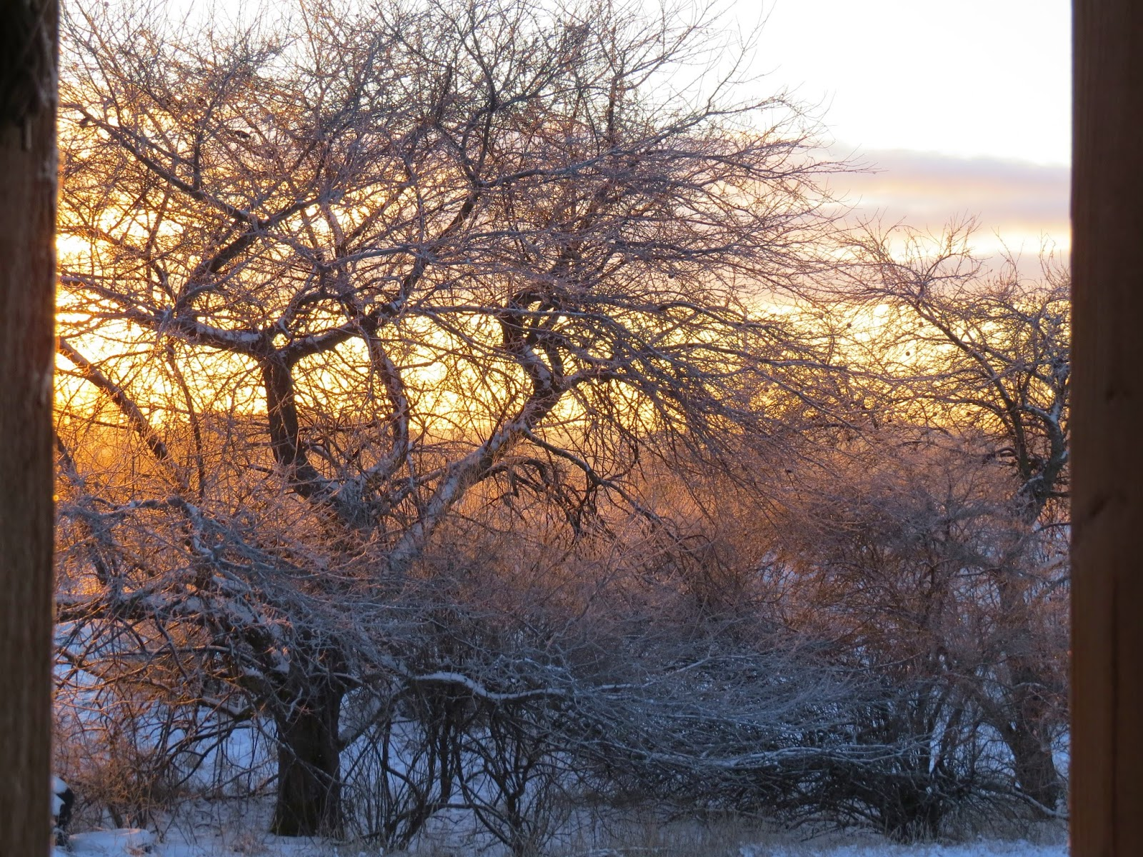 sunrise on frosty trees