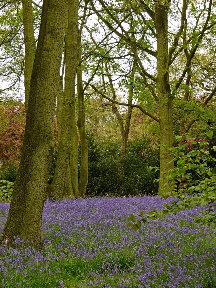 Bluebells, woodland, Dunham Massey