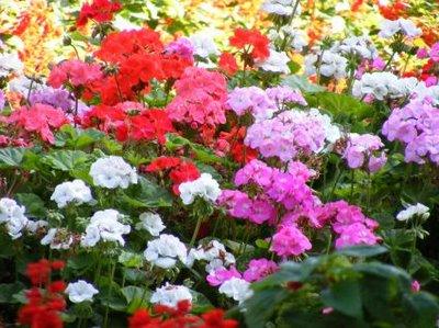 Studio floral dora santoro geranios - Plantas de temporada primavera ...