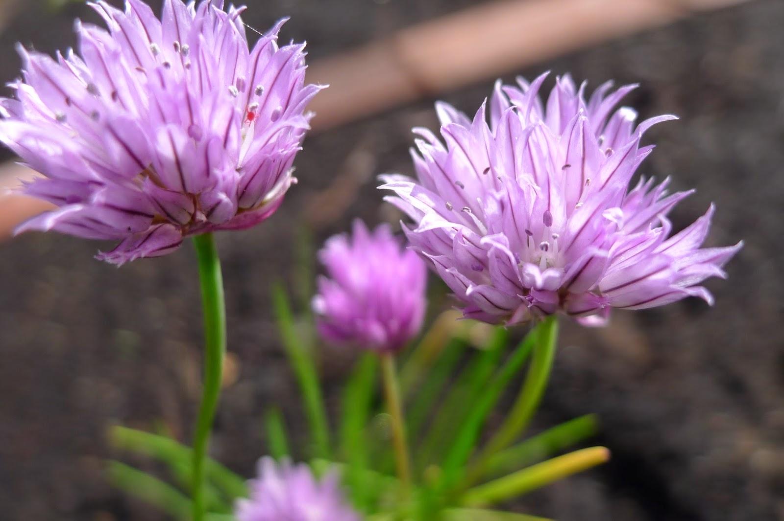 Chive flowers, herbs, urban farming