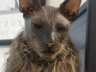 Ini Dia Kucing Paling Buruk Rupa Di Dunia, Ugly Bad Boy