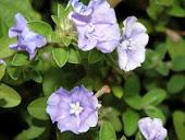 Bunga Jasmine Melor
