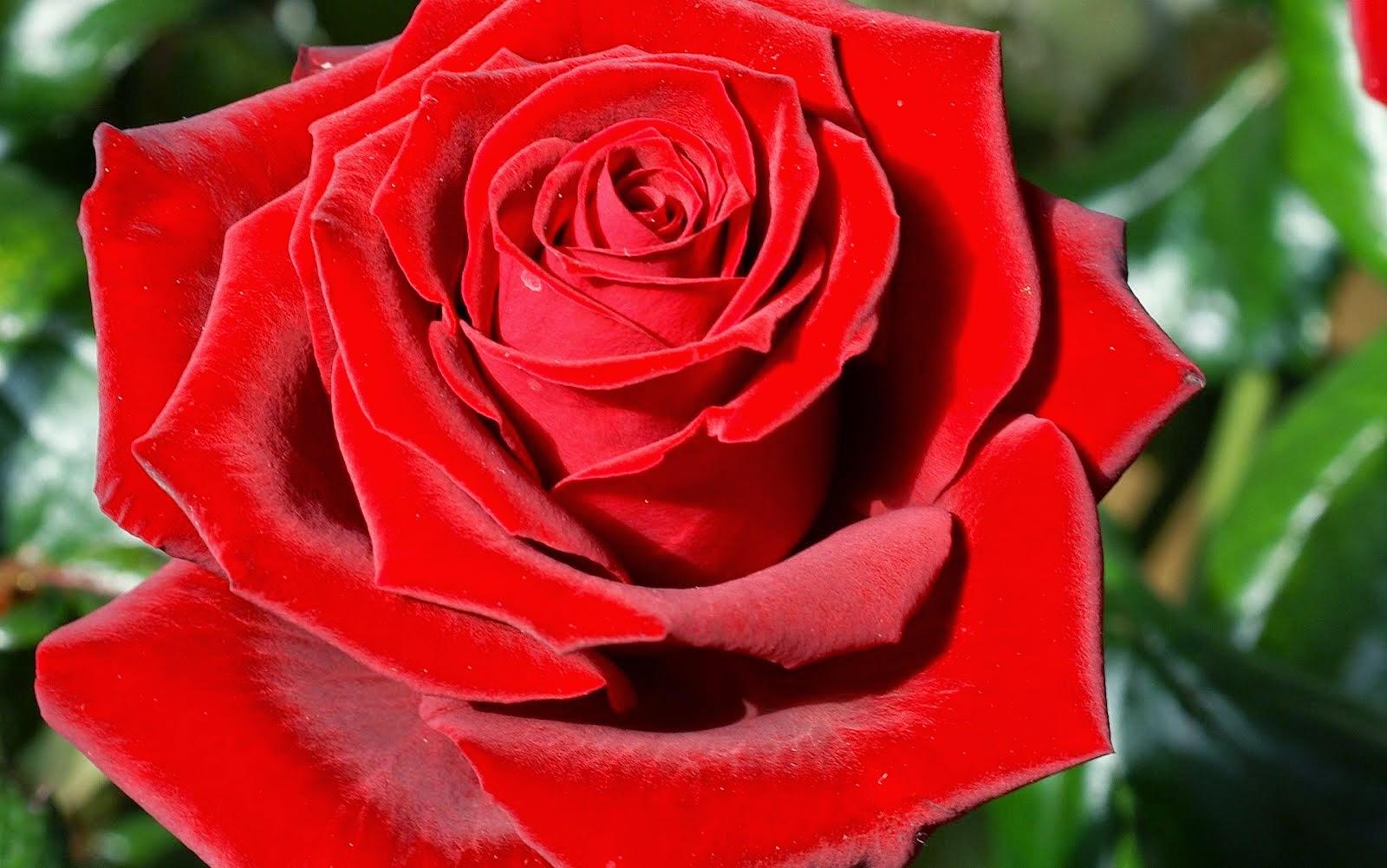 """la parola """"rosa"""""""