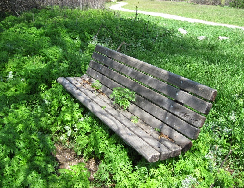 Poison Hemlock Growing through Seat of Bench in Larry Moore Park, 2011. Photo © B. Radisavljevic