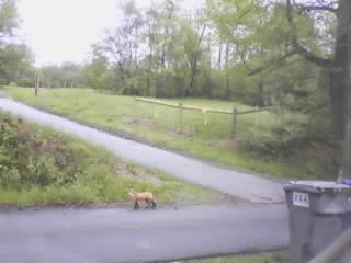 Fox ?