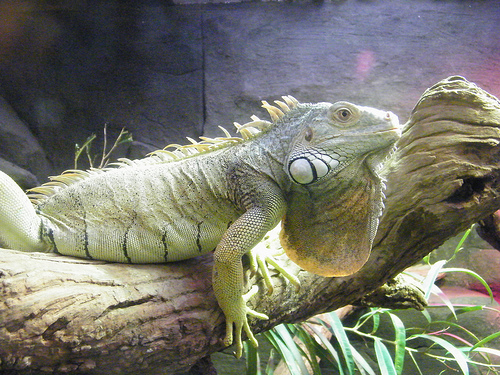 Space requirements and the need for special lighting and heat can prove challenging to an amateur hobbyist. & Green Iguana | Animal Unique