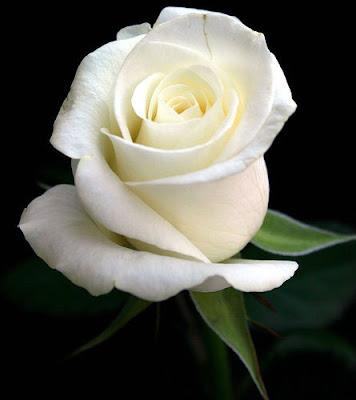 Gambar bunga mawar warna putih