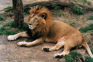 Dream Interpretation Lion | RM.