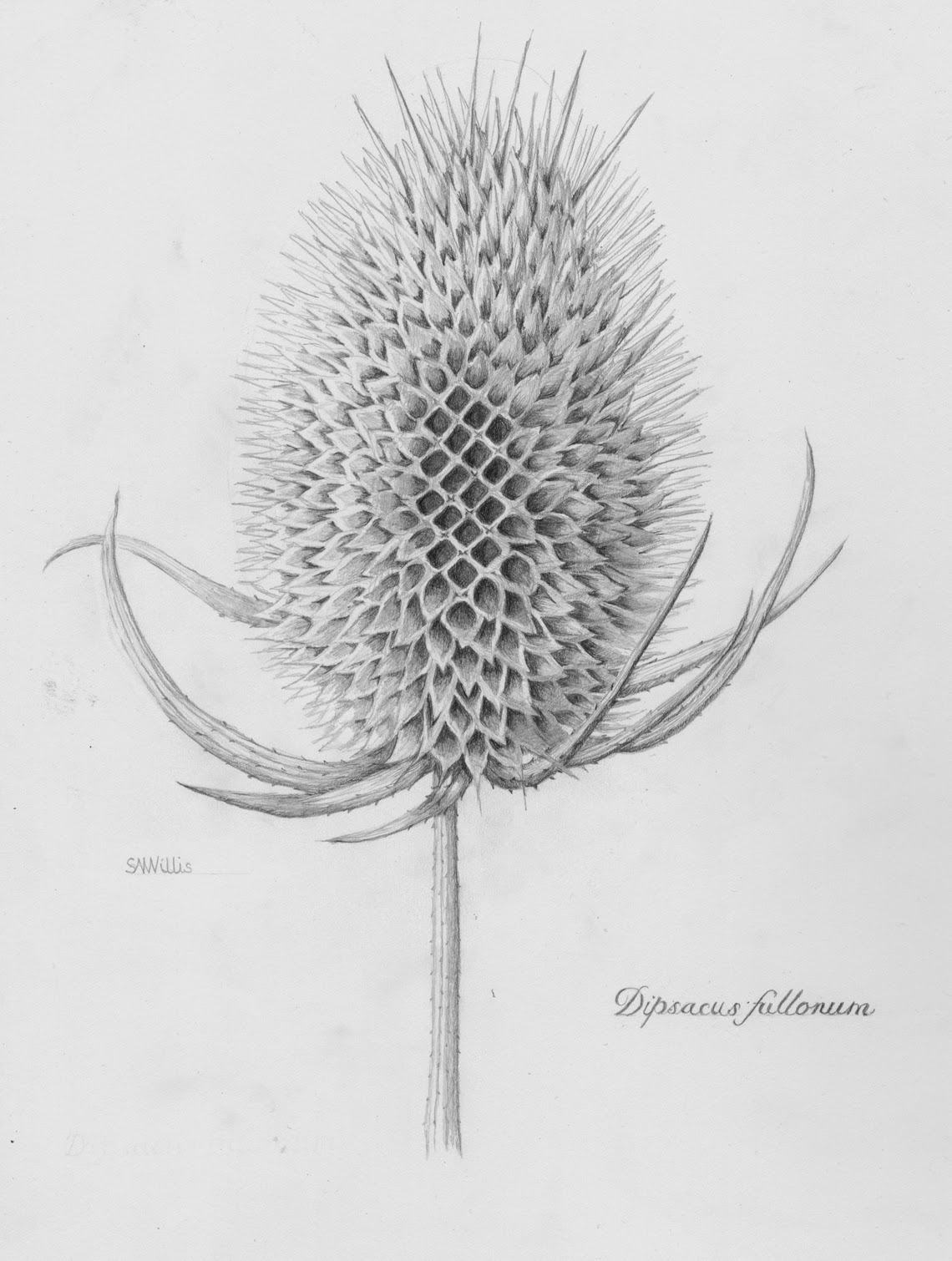 Botanical illustration black and white - photo#1