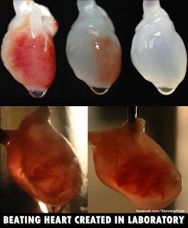 Beating Heart Created In Laboratory