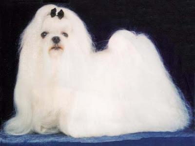 Fotos de cachorros Maltês