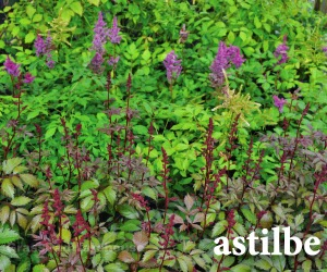 The grass rhizome shade tolerant perennials and ground covers astilbe native to the far east these beautiful plants and their hybrids have revolutionized the perennial possibilities of moist shaded gardens mightylinksfo