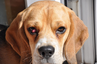 how to get rid of pink eye in dogs