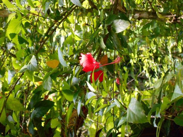 Ambalapara Blossoms