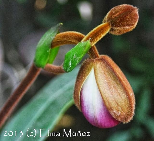 Phragmipedium peruvianum (syn kovachii) Album de fotos