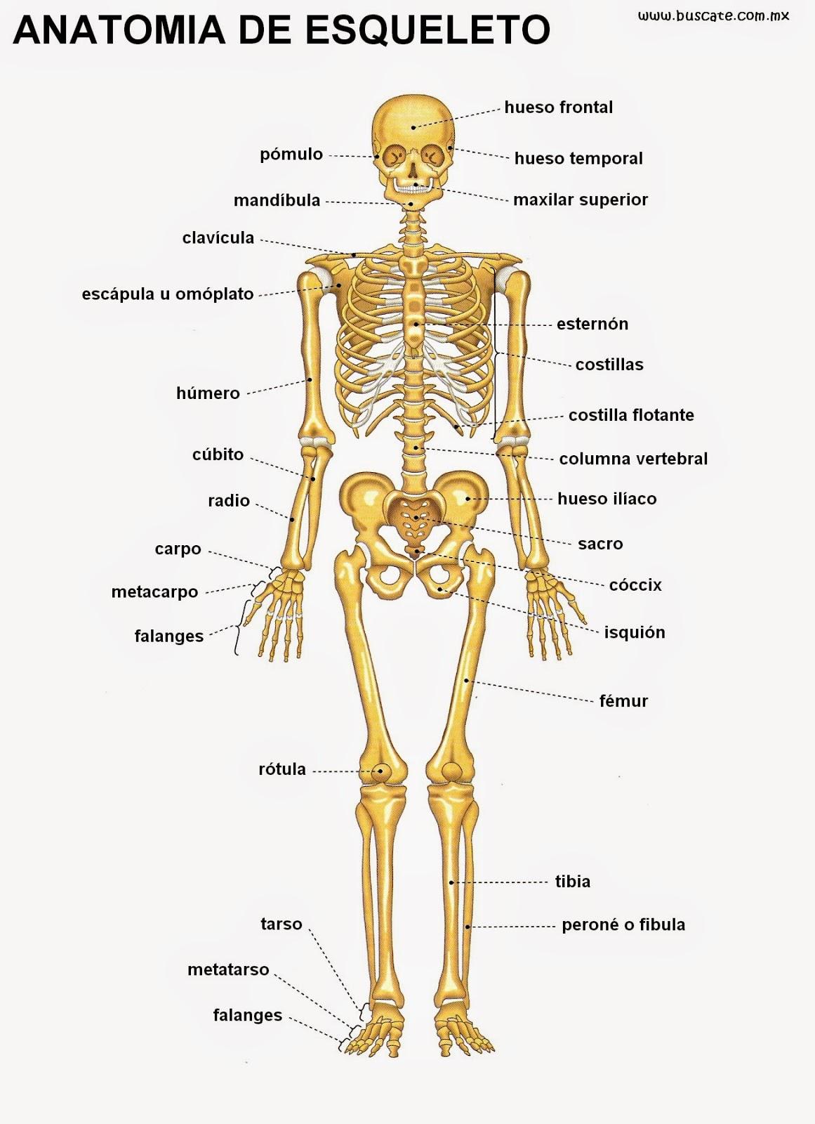 Perfecto Armar Nombres De Los Huesos Motivo - Anatomía de Las ...