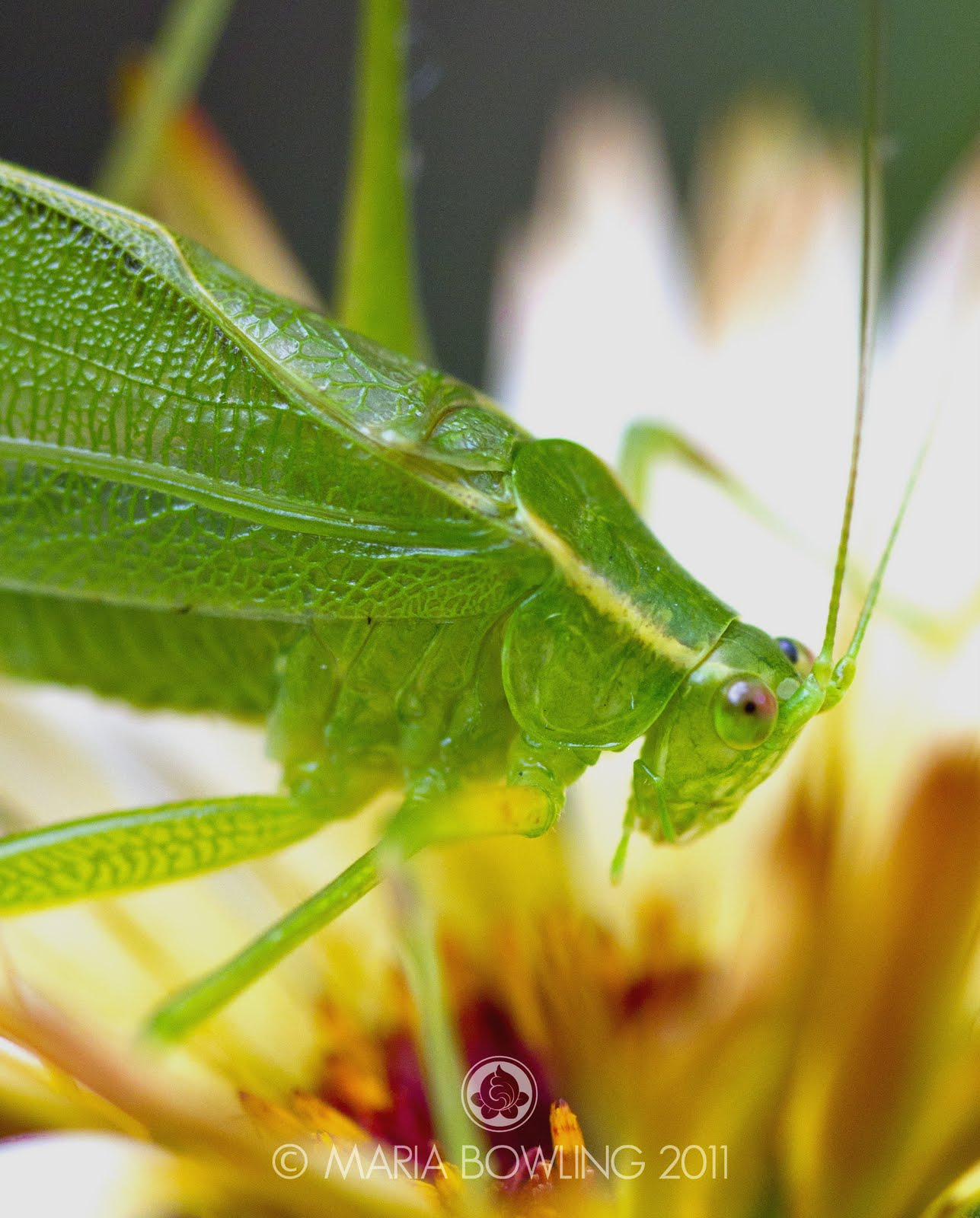 Pretty Medicine : A New Friend.....a Katydid (Tettigonia ...