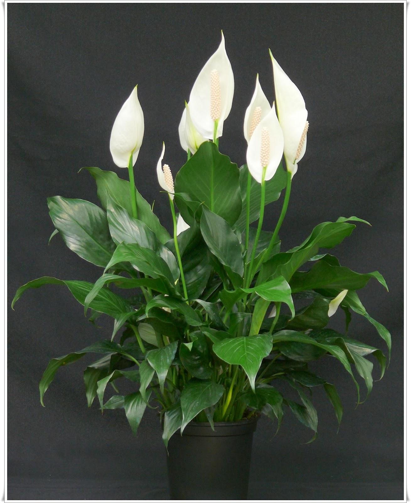 Kućne biljke koje uklanjaju nezdrave hemikalije iz vazduha - Moj Vrt Cvijeća