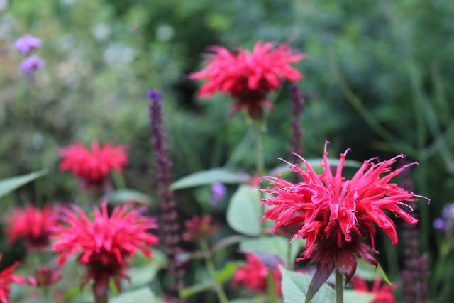 Monarda 'Gardenview Scarlet'