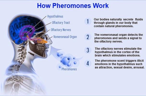 Hormon Cinta Anda Bernama Feromon
