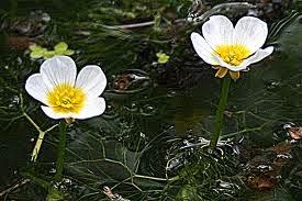 Il giardino delle naiadi i ranuncoli acquatici piccole rane for Fiori acquatici