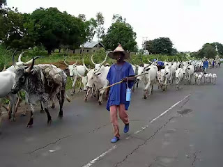 Herdsmen killings: OPC, Agbekoya mobilize fighters, declare war on killer Fulani