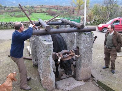 Una Vaca en el potro de herrar restaurda en Valdefuentes de San Gusín