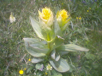 Genziana Lutea (Genziana maggiore)