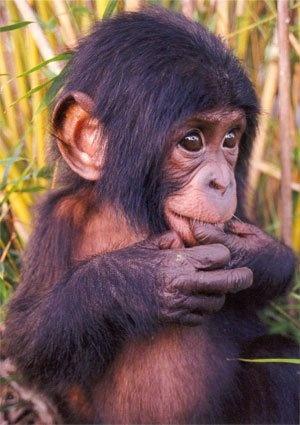 Chimpance Bebé
