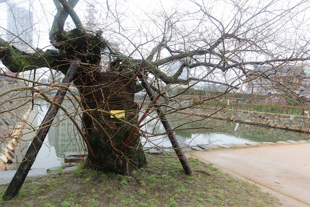 A-bombed tree Willow survivor from the atomic bombing at Hiroshima Castle and Tower in Japan