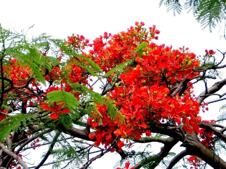 ảnh hoa phượng đỏ đẹp nhất