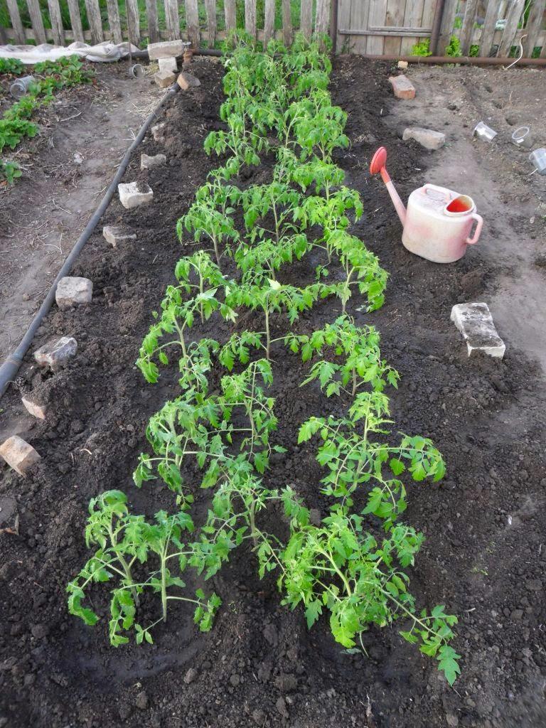 Грядка помидоров засажена полностью. Рядок в середине сделан для излишков рассады. После будет рассажен по огороду.