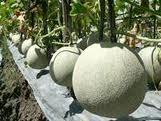 Budidaya, Melon, cara menanam, tanam