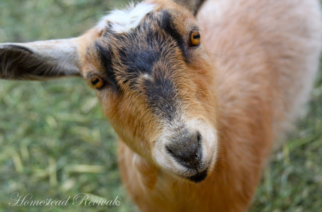 Feeders and Water for Goats – 1/25/12