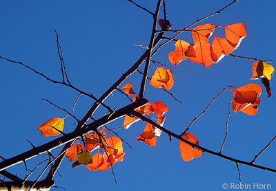 Plum Branches with a few Red-Gold Leaves and Bright blue sky