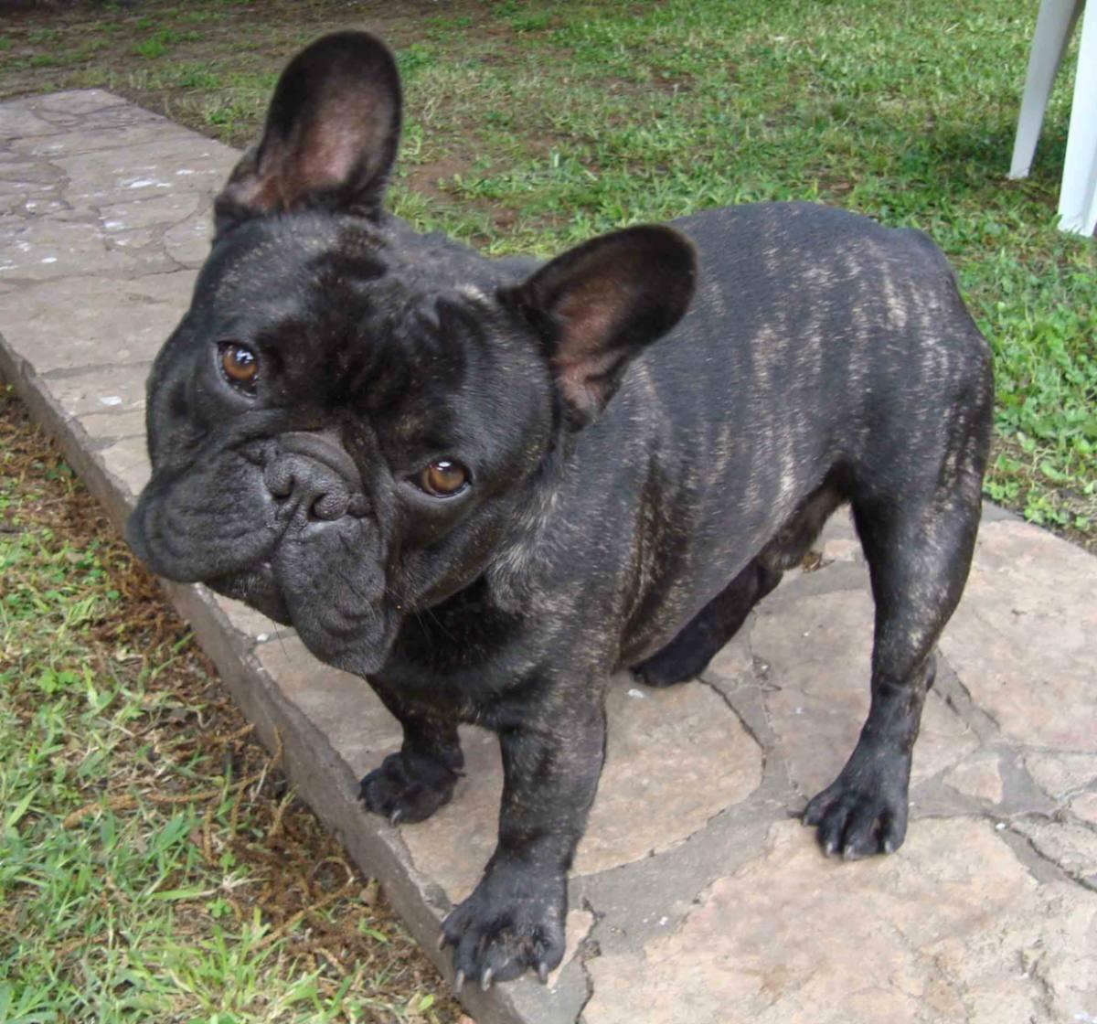 Imagenes de bulldog frances ~ Imagenes de perros Bulldog Puppies Wallpaper