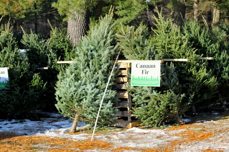 Christmas trees ready for  new homes