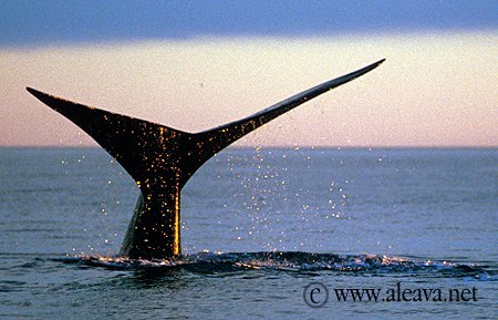 Whale watching, a fact of life in Puerto Piramides
