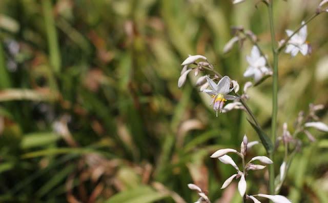 Arthropodium Cirratum Flowers Pictures