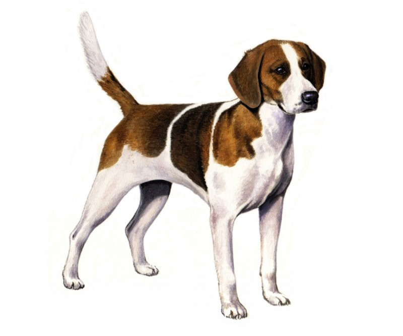 English Foxhound Dogs