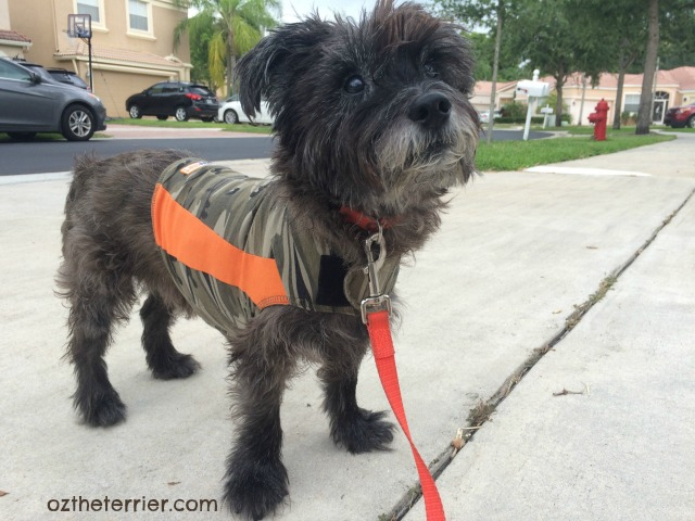 Oz the Terrier Pet Safety Tips for July 4: Try calming aids like ThunderShirt