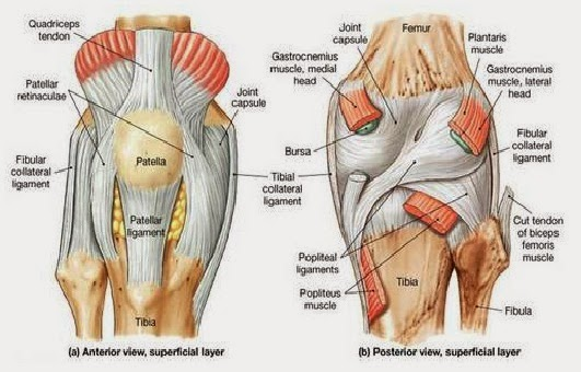knee diagram – citybeauty, Human body