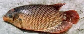 Ikan Gurami Porselen