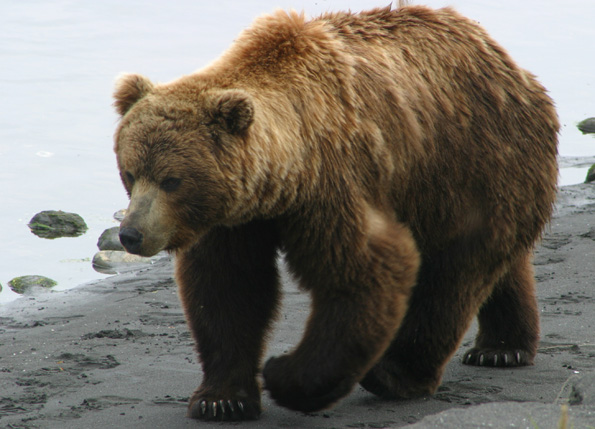 Brown bear - photo#4