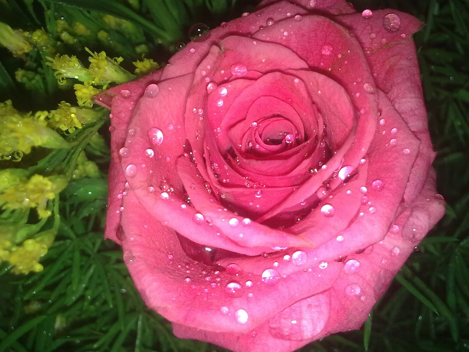 Beautiful Roses With Water Drops Beautiful Roses In The World