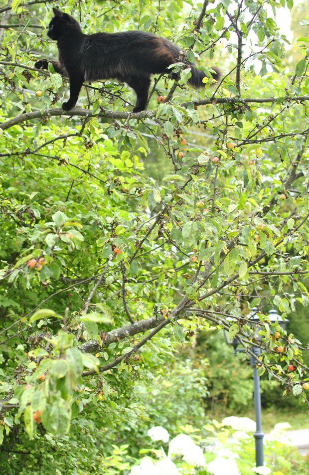 prydnadsapel john downie paradisäppelträd svart katt