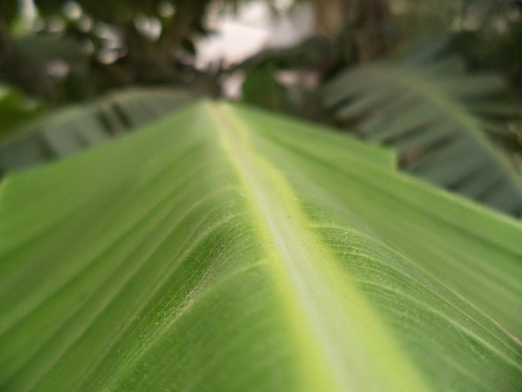 Banana Leaf - special focus. Banana leaf used for eating food as plate in Indi, esp. Tamil Nadu.