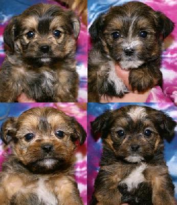 Cute Puppy Dogs New Born Shih Tzu Puppies
